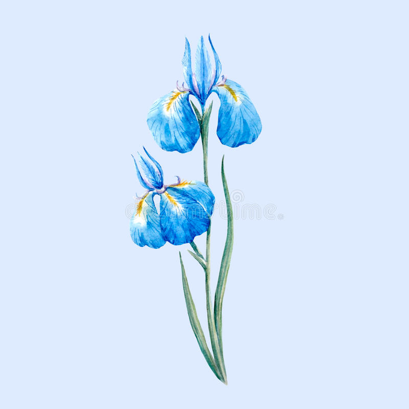 Watercolor blue wild iris flower royalty free illustration