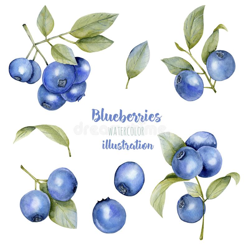 Watercolor blueberries illustration collection vector illustration