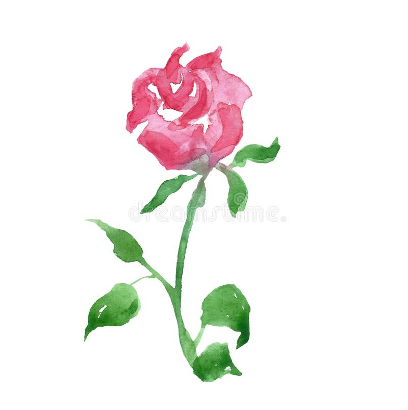 Watercolor blush pink rose flower, isolated on white background. Beatiful hand painted botanical illustration for cards design, vector illustration