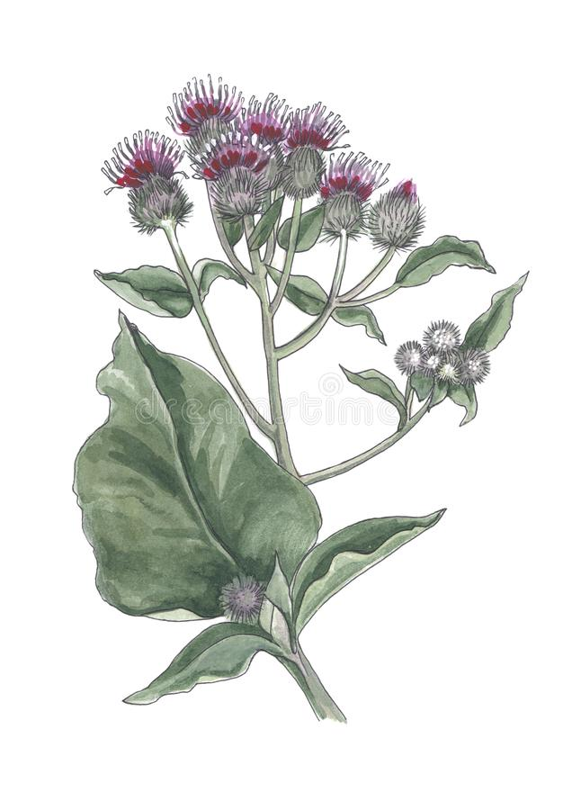 Watercolor botanical illustration of burdock flowers . vector illustration