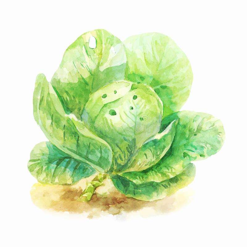 Watercolor botanical illustration of cabbage. Light watercolor cabbage isolated on white. Hand-drawn green vegetable. Vintage illustration stock illustration