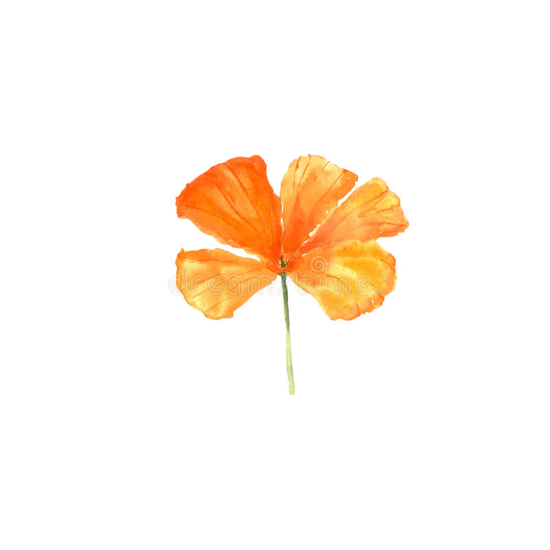 Watercolor botanical illustration of California poppy flower isolated on white background stock photo