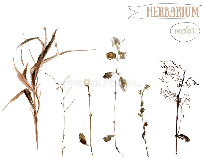 Watercolor botanical illustration of dried wild plants and herbs vector illustration