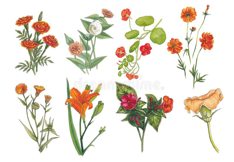 Watercolor botanical illustration of orange flowers. royalty free illustration