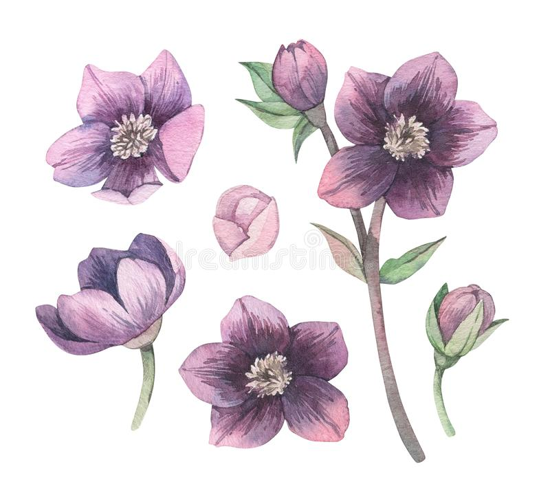 Free Watercolor Botanical Illustration. Violet Blossom. Collection With Gentle Flower, Bud, Branches And Green Leaves. Perfect For Stock Image - 168404871