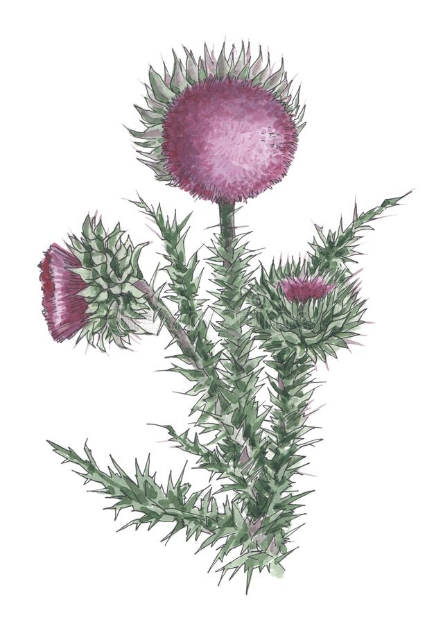 Watercolor botanical illustration of violet thistle. royalty free illustration