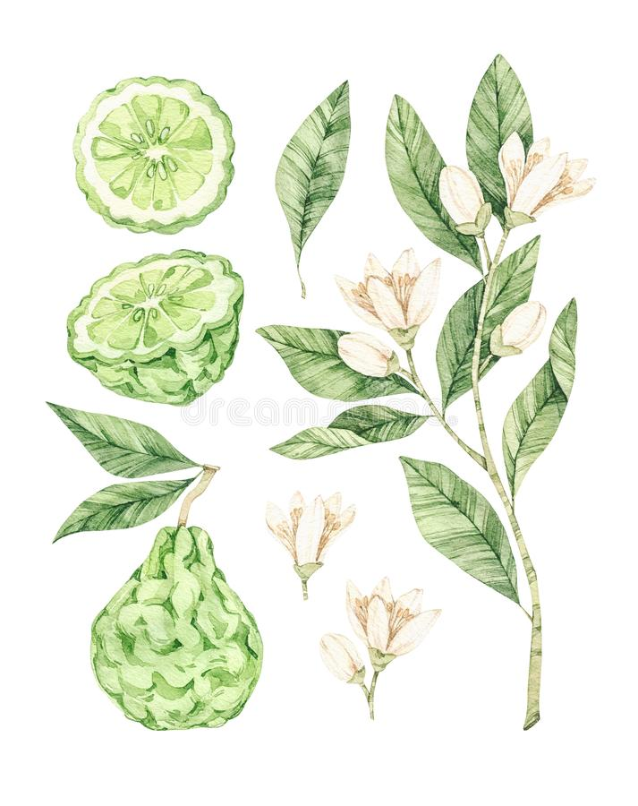 Watercolor botanical illustrations. Fresh bergamot blossom. Citrus bergamia flowers, fruit and leaves collection. Perfect for. Wedding invitations, cards stock photos