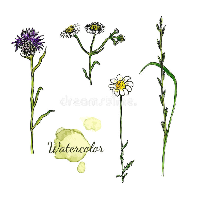 Watercolor botanical set with wild flowers. Camomile, thistle vector illustration