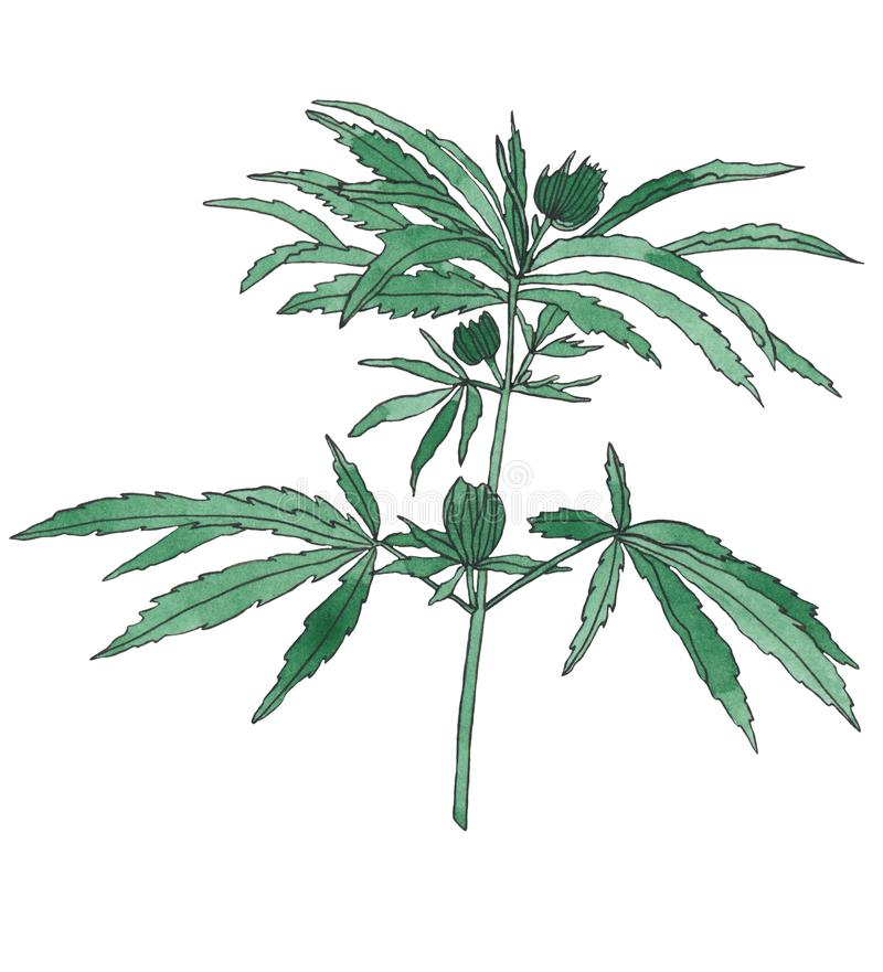 Watercolor branch of Green hemp with leaves. Watercolor illustration of big green branch hemp on white background stock illustration