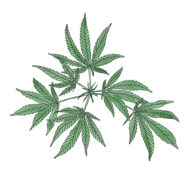 Watercolor branch of Green hemp with leaves. Watercolor illustration of green branch hemp on white background royalty free illustration