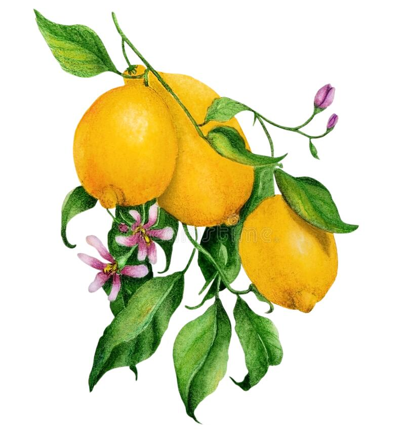 Watercolor with a branch of ripe lemons and flowers royalty free stock photos