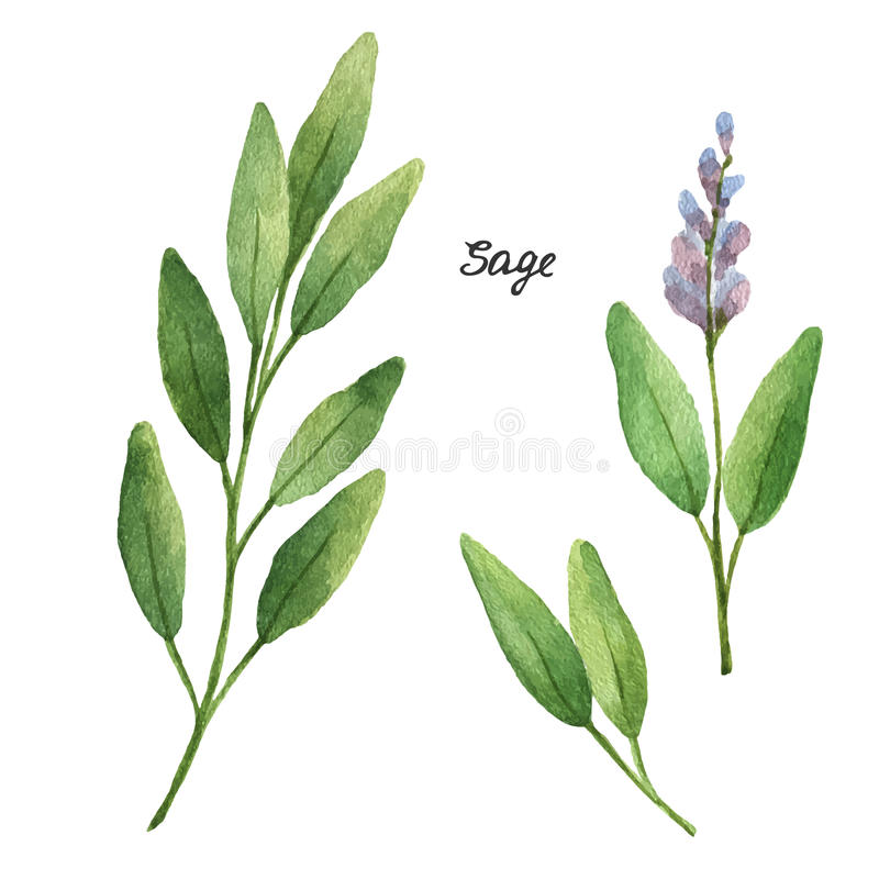 Watercolor branches and leaves of sage. Eco products on white background. Watercolor vector illustration of culinary herbs and spices to your menu royalty free illustration