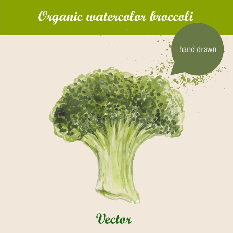 Watercolor broccoli. Hand drawn illustration on white background. stock illustration