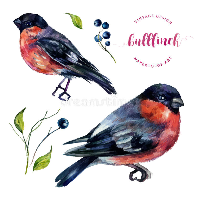 Watercolor Bullfinch And Berries Collection. vector illustration