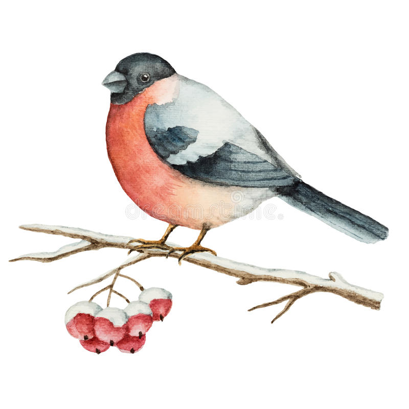 Watercolor bullfinch on a branch of Rowan. Christmas element for your design stock illustration