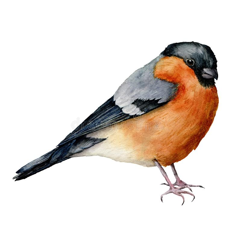Watercolor bullfinch. Hand painted bird isolated on white background. Holiday nature illustration for design, print or. Background. Christmas clip art stock illustration