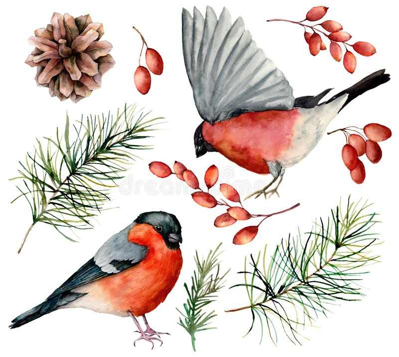 Watercolor bullfinch set. Hand painted birds, winter berries, pine cone and fir branch isolated on white background. Floral illustration for design, print royalty free illustration