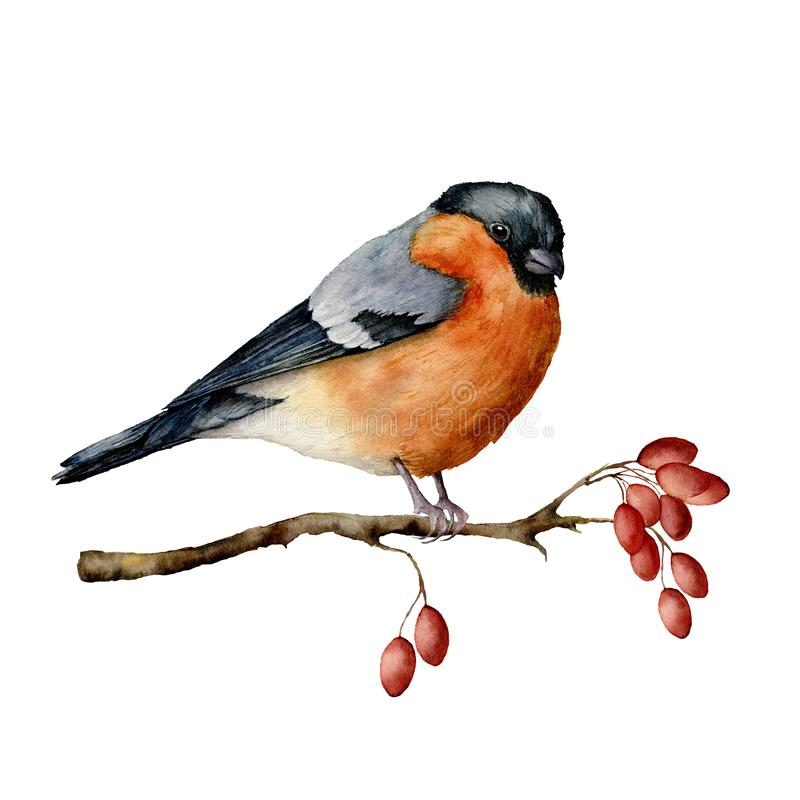 Watercolor bullfinch sitting on tree branch with berries. Hand painted winter illustration with bird and dog rose. Berries isolated on white background. Holiday vector illustration