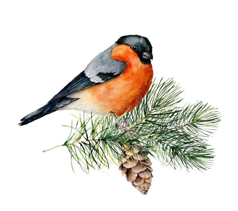 Watercolor bullfinch sitting on tree branch with pine cone. Hand painted winter illustration with bird and fir tre stock illustration