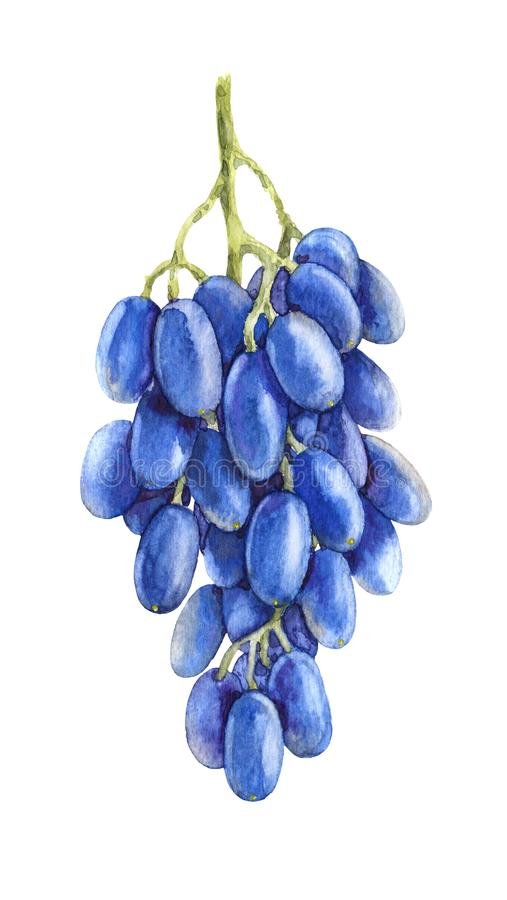 Watercolor Bunch of Blue Grapes stock illustration