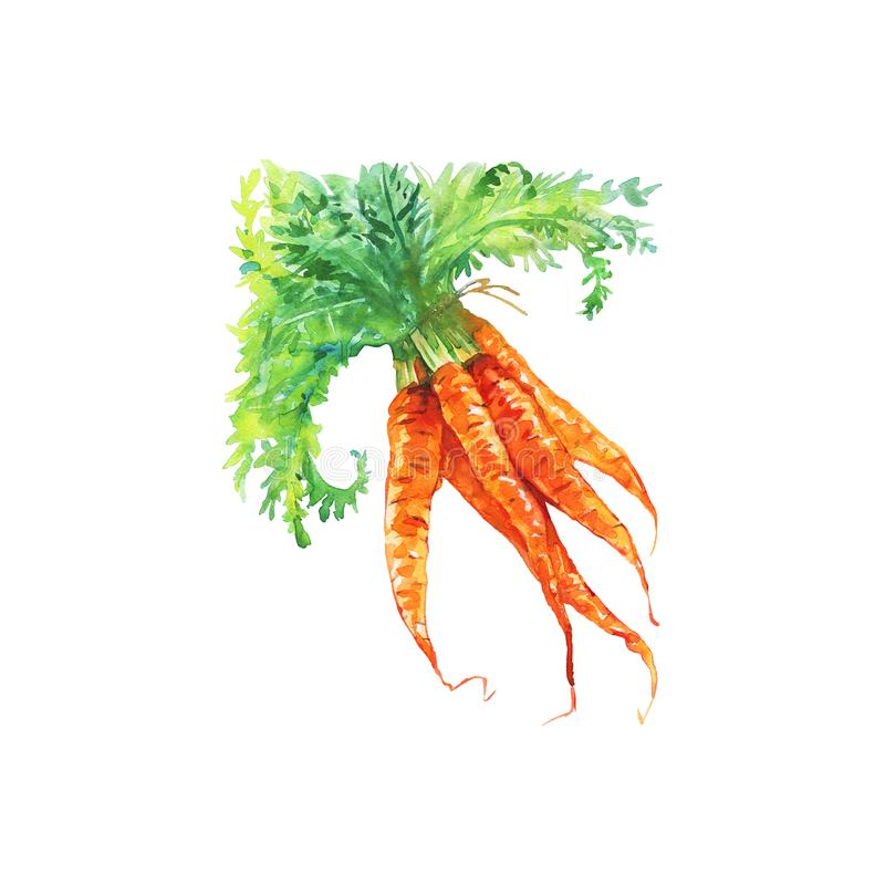 Watercolor carrot stock illustration