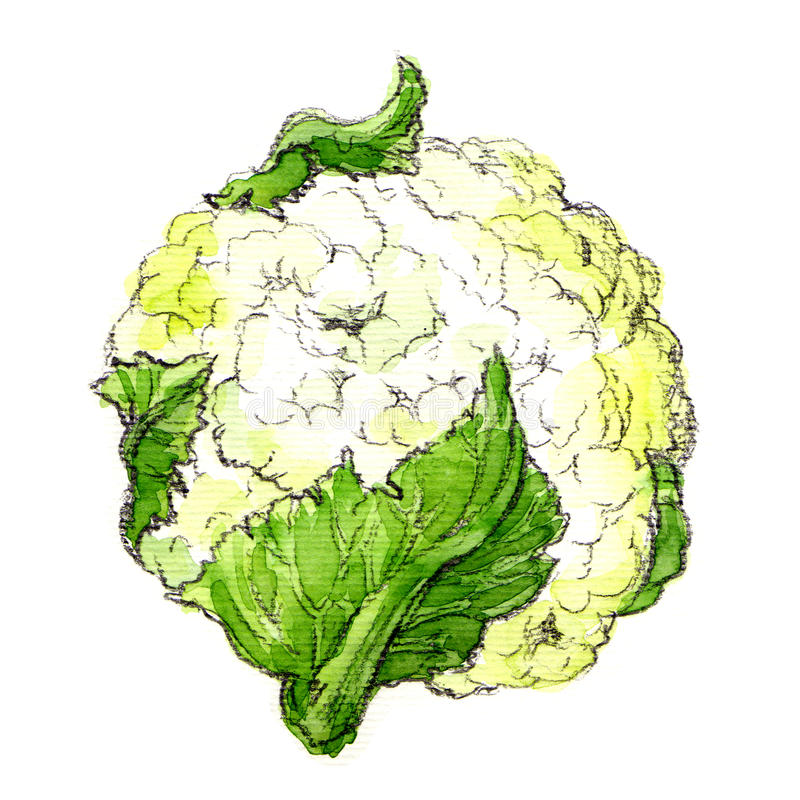Watercolor cauliflower isolated. Cauliflower isolated, watercolor painting on white background stock illustration
