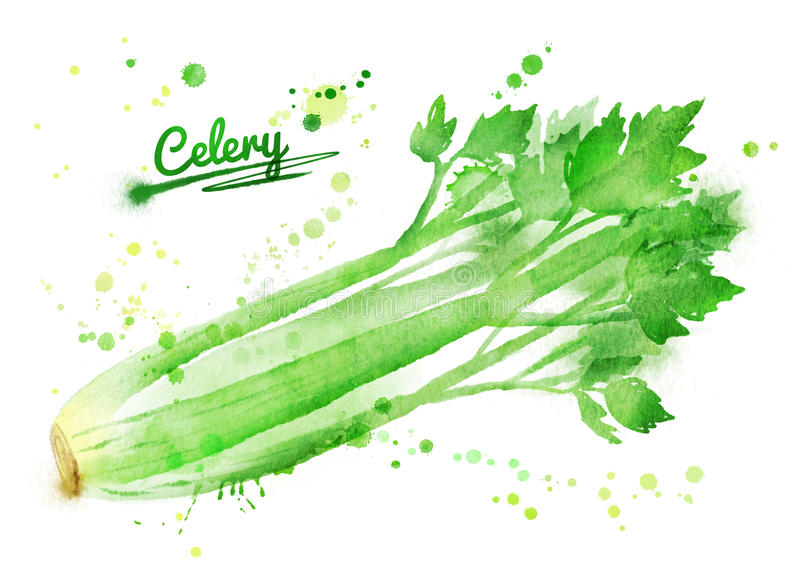 Watercolor celery. Hand drawn watercolor illustration of celery with paint splashes stock illustration