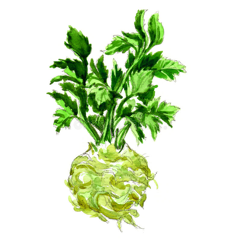 Watercolor celery isolated on white. Celery isolated, watercolor painting on white background royalty free illustration