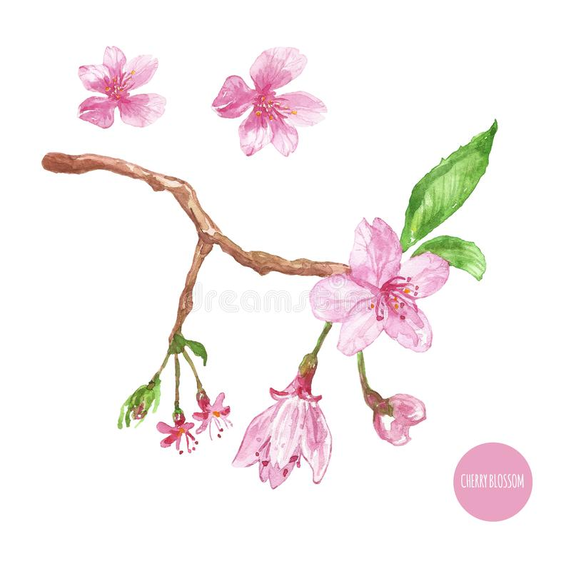 Watercolor cherry blossom illustration. Hand painted sakura tree branch with pink flowers, buds and leaves stock illustration