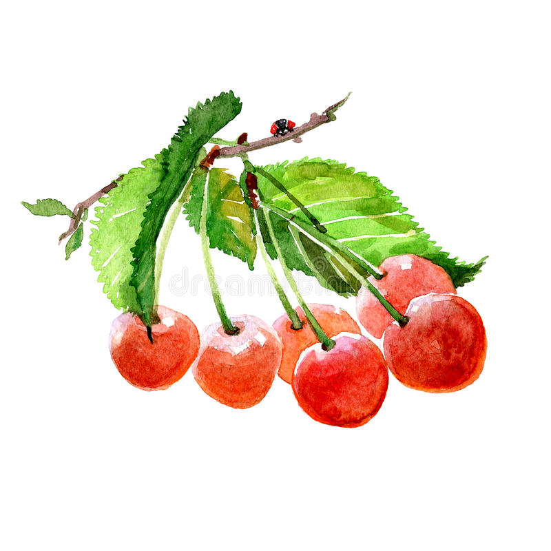 Watercolor cherry branch with cherries isolated vector illustration