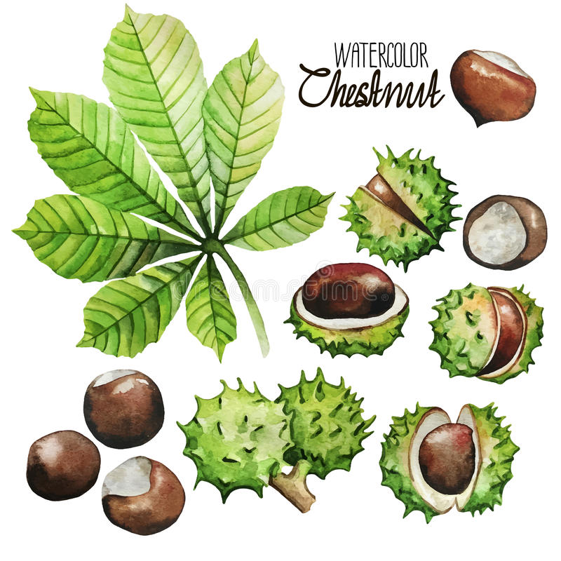 Free Watercolor Chestnut Collection Stock Photography - 71078382