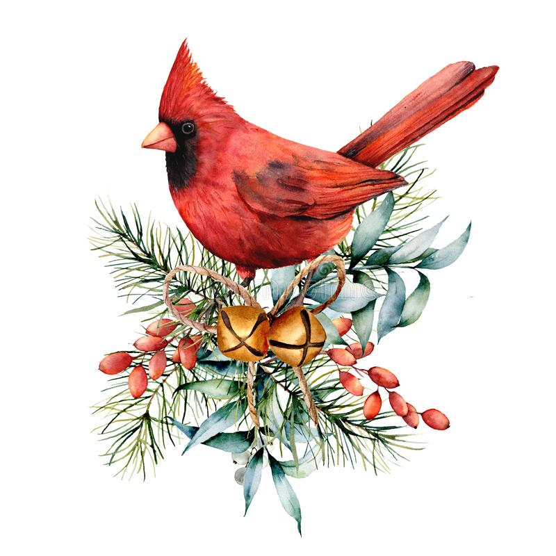 Watercolor Christmas card with red cardinal and winter plants. Hand painted bird with bells, holly, red bow, berries. Fir and eucalyptus branch isolated on vector illustration