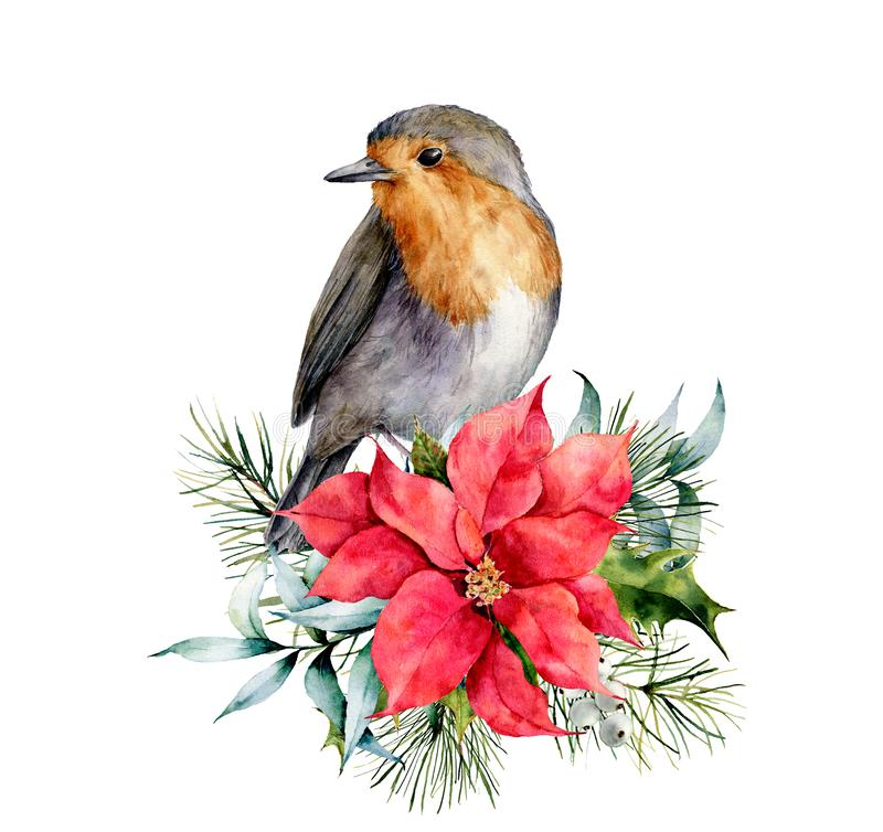 Watercolor Christmas card with robin and winter design. Hand painted bird with poinsettia, mistletoe, fir branch and. Holly isolated on white background vector illustration