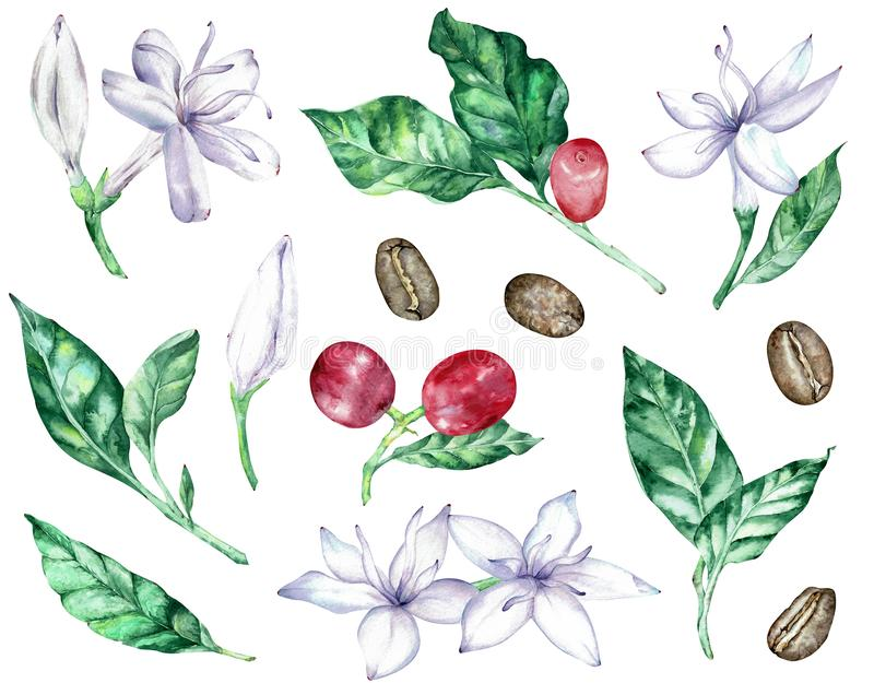 Watercolor clipart of white coffee flowers, green leaves, red berries and beans stock illustration