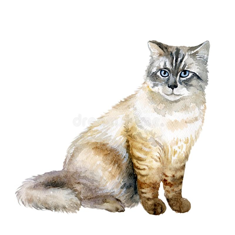 Watercolor close up portrait of popular Siberian longhair cat breed isolated on white background. Siberian forest cat with blue. Eyes sitting. Hand drawn pet stock illustration