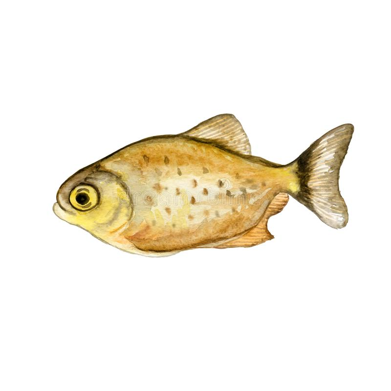 Watercolor closeup Piranha or Pirana fish isolated on white background. Hand drawn dangerous cold-blooded freshwater predator. Piranha or Pirana fish isolated vector illustration