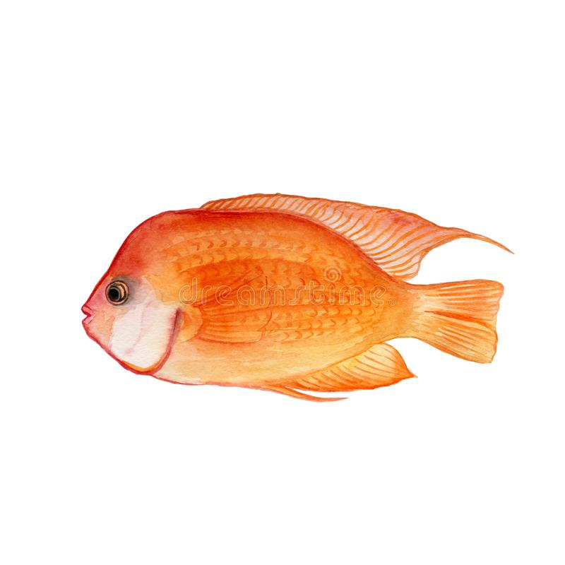 Watercolor closeup portrait of Blood parrot cichlid or Red parrot fish isolated on white background. Hand drawn colorful aquarium royalty free illustration