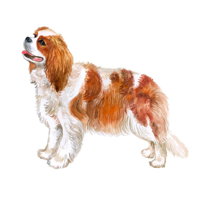 Watercolor closeup portrait of Cavalier king charles spaniel breed dog isolated on white background. Toy dog from United Kingdom. Hand drawn sweet home pet royalty free illustration