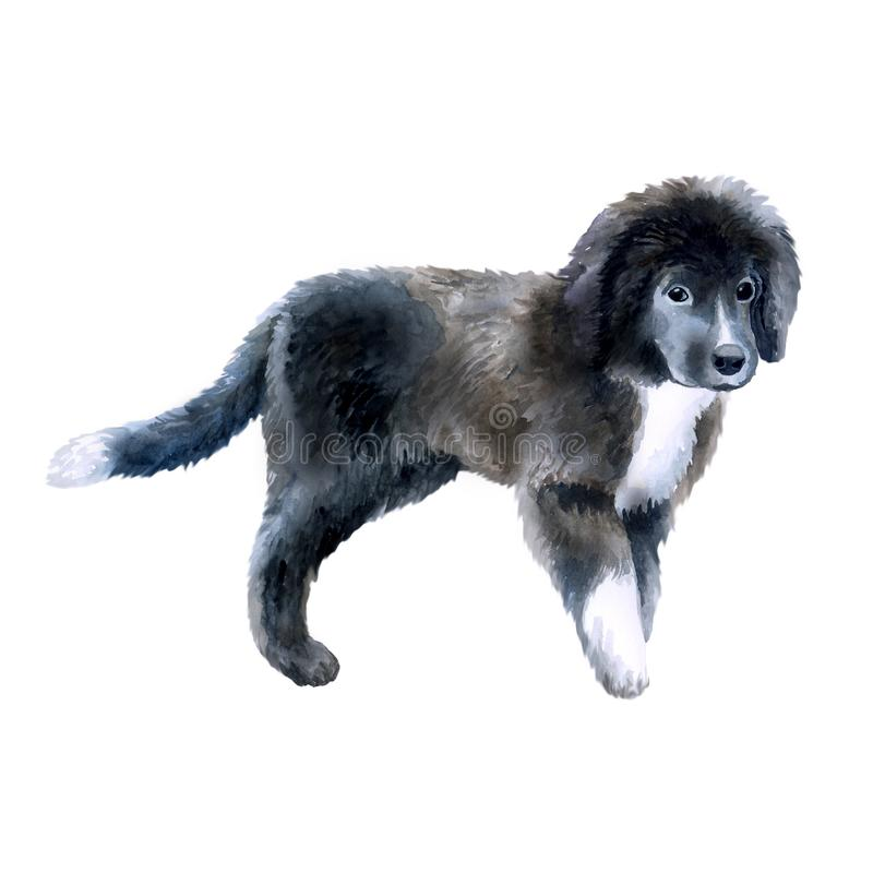 Watercolor closeup portrait of cute Newfoundland breed puppy isolated on white background. Longhair large working dog posing at. Dog show. Hand drawn sweet home royalty free illustration