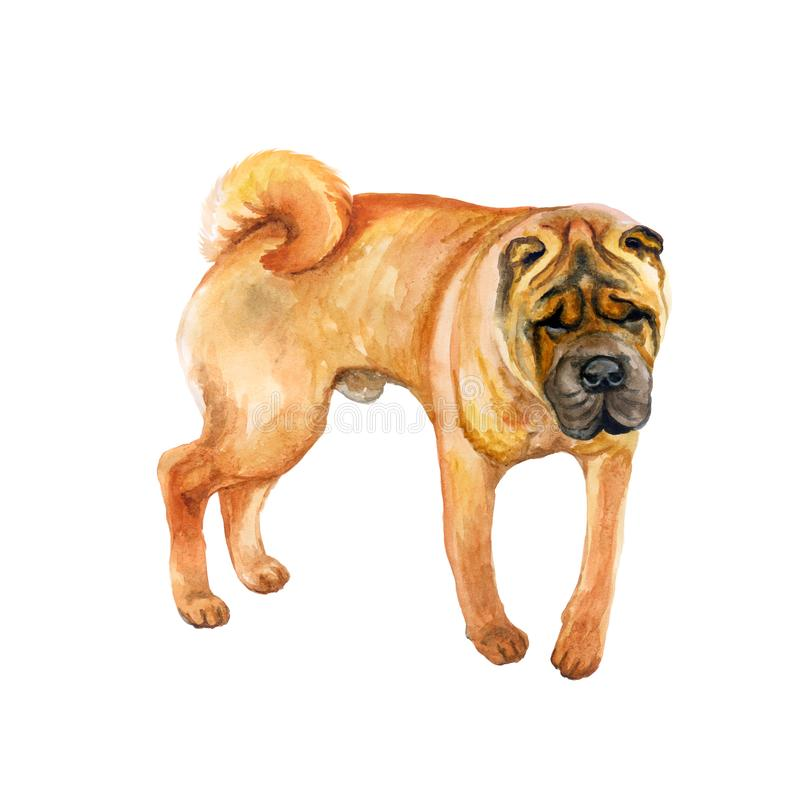 Watercolor closeup portrait of cute wrinkled chinese Shar Pei breed dog isolated on white background. Shorthair medium-sized red. Fawn dog. Hand drawn sweet stock illustration