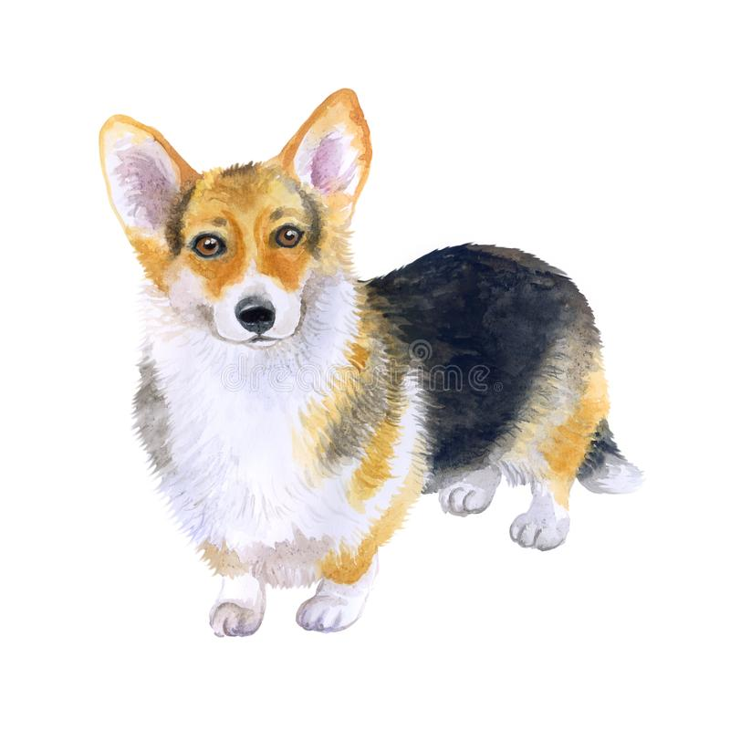 Watercolor closeup portrait of tricolor short-legged Pembroke Welsh Corgi. Isolated on white background. Shorthair small-sized royalty free illustration