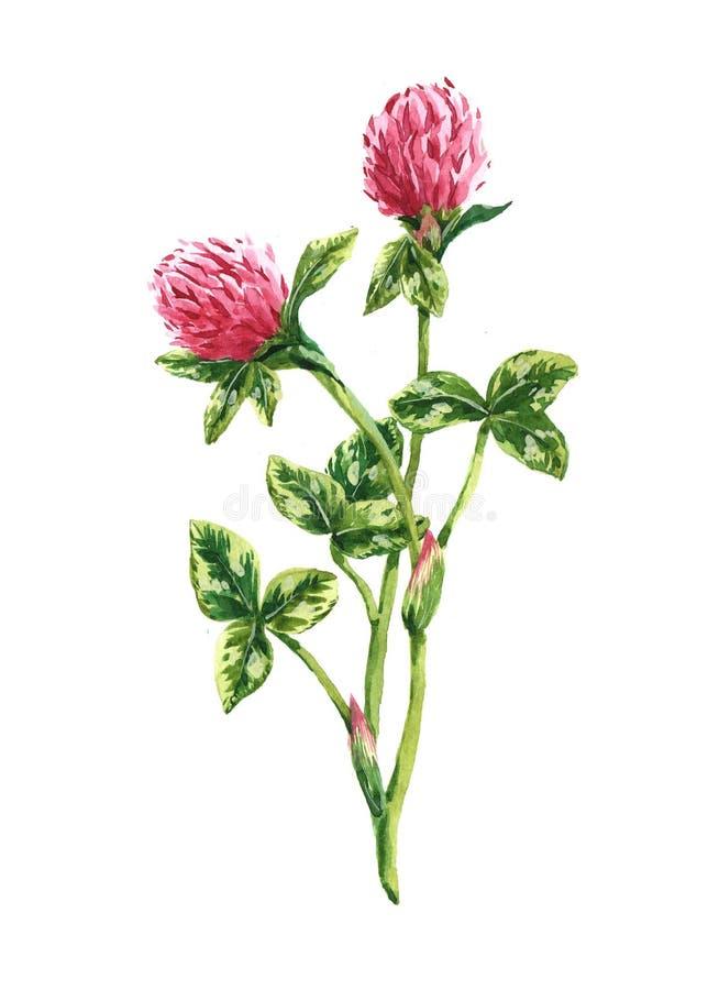 Watercolor clover bouquet royalty free stock photos
