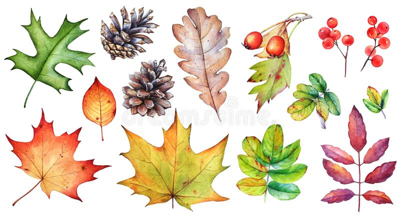 Set of autumn leaves, berries and pine cones on white background vector illustration