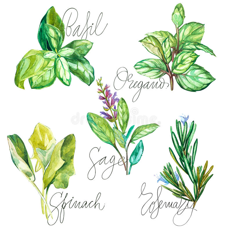 Watercolor collection of fresh herbs isolated: basil, rosemary, oregano, sage, spinach. Herbs object isolated on white. Background royalty free illustration