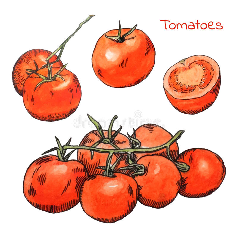 Watercolor colored pencils tomatoes sketches set with ink outline. Hand drawn watercolor colored pencils tomatoes sketches set with ink outline royalty free illustration