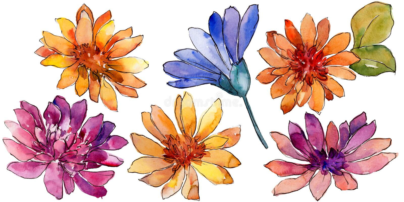 Watercolor colorful african daisy flower. Floral botanical flower. Isolated illustration element. Aquarelle wildflower for background, texture, wrapper pattern stock illustration
