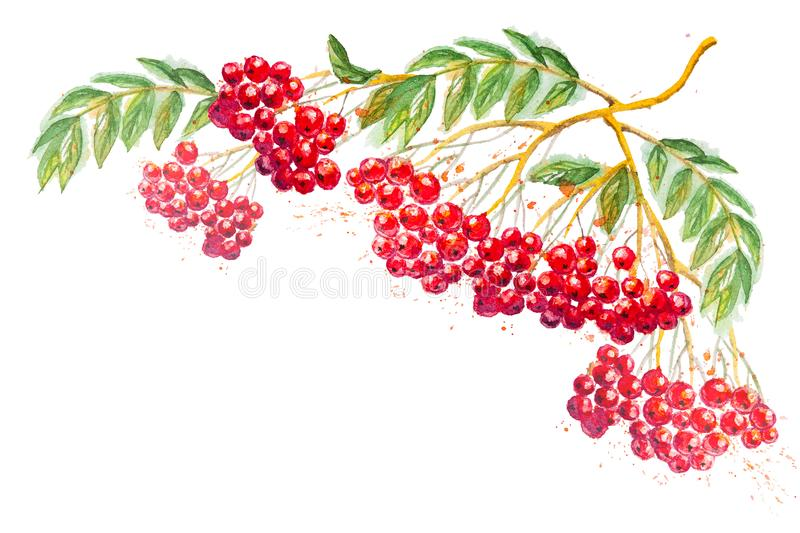 Watercolor composition with rowanberry branch. Beautiful watercolor hand drawn composition with branches of Rowanberry and leaves, on the white horizontal royalty free illustration