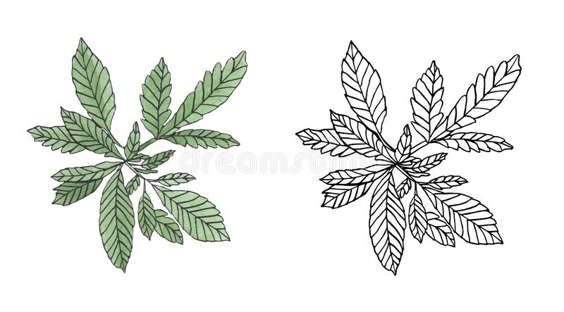 Watercolor and contour branch of Green hemp with leaves. Watercolor and contour of green branch hemp on white background royalty free illustration