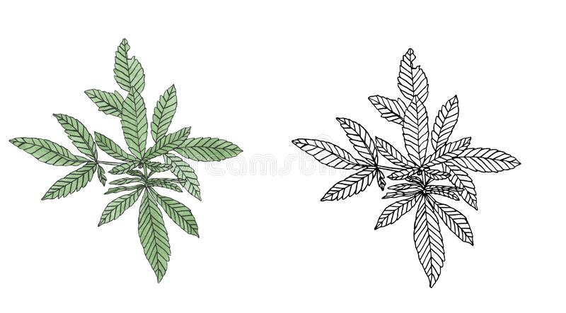 Watercolor and contour branch of Green hemp with leaves. Watercolor and contour of green branch hemp on white background stock illustration