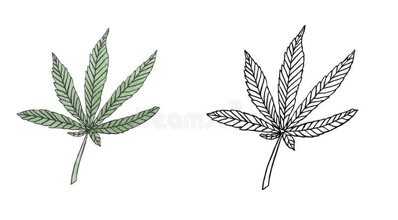 Watercolor and contour of Green hemp leave. On white background vector illustration